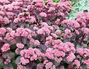 Dark leaves on sedum