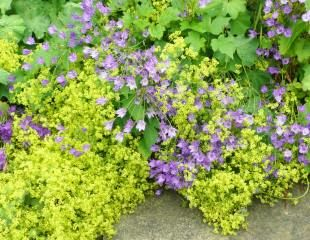 Alchemilla flowers turn golden later in the summer