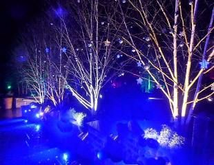Harlow Carr starry trees 310