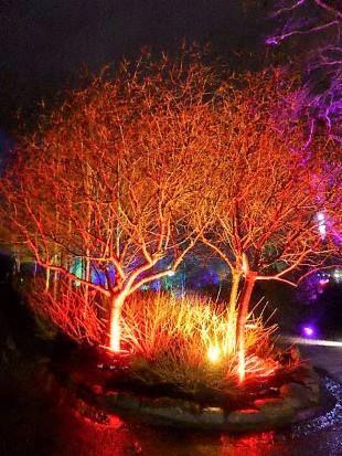 Harlow Carr Glow trees ablaze.