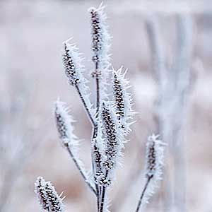 frost-on-plant-300
