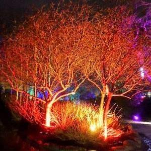 Harlow Carr Glow trees ablaze. 300
