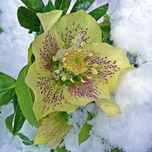 hellebore--in-snow