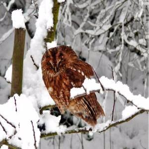 owl in winter 300