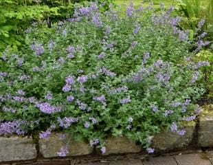 Nepeta post chop