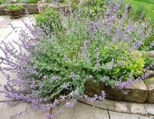 Nepeta before Chelsea Chop