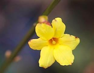 Winter flowering Jasmine nudiflorum