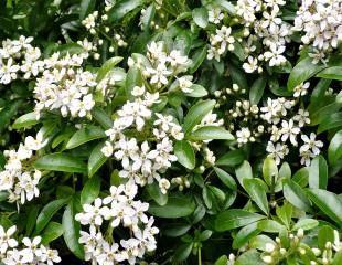 choisya full shrub