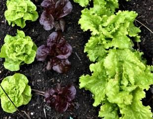 Growing lettuice in lines
