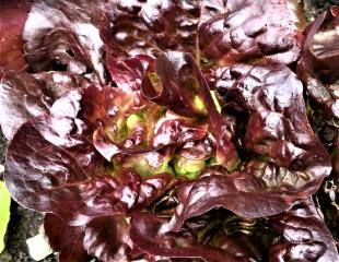 red lettuce close up