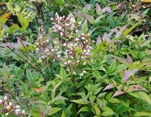 Nandina heavenly bamboo with flowers