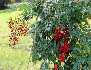 Nandina domestic heavenly bamboo with berries