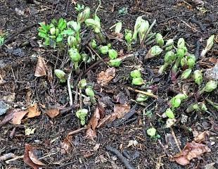 hellebore cut back with leaf mulch