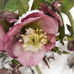 Hellebore in the snow 300