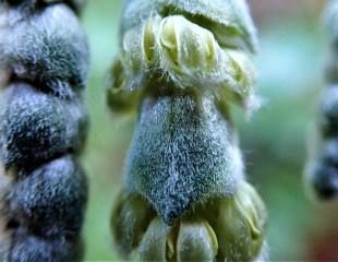 Close up tassels on Garrya elliptica