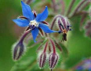 Lovely blue Borage