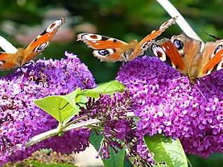 Buddleja covered in butterflies