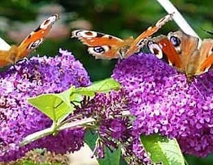 buddleja with butterflies