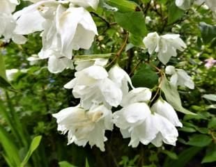 Philadelphus mock orange
