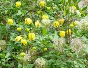 Clematis tanguitia Bill Mckenzie  which has bright yellow small flowers with showy seedheads