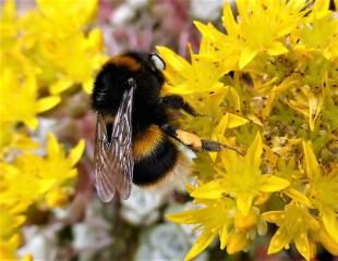 Sedum with bee