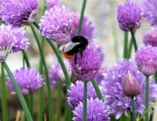 Bee with Chives