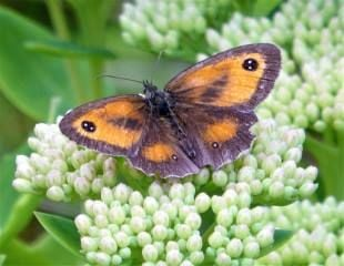 Gatekeeper butterfly on sedum