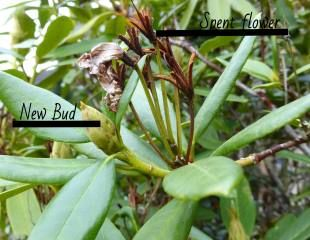 Rhododendron showing spent flower and new bud