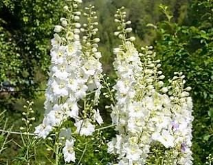 white Delphinium blooms