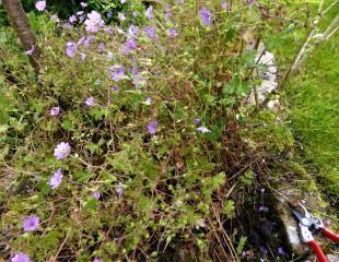 geranium pre cutting back