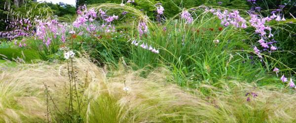 Dierama with grasses