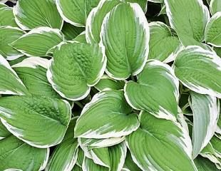 Varigated white and green hosta