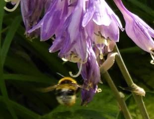 Tatty Hosta flowers are still loved by bees