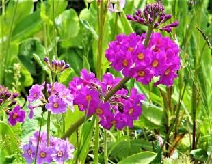 Purple Primula beesiana