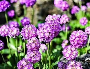 Purple primula denticulata - the drumstick primula