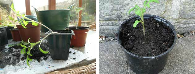 Weedy seedling left potted up seedling right