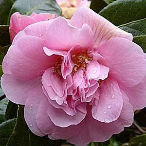 Pink Camellia close up