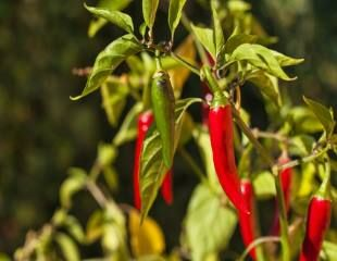 chilli red hot plant growing