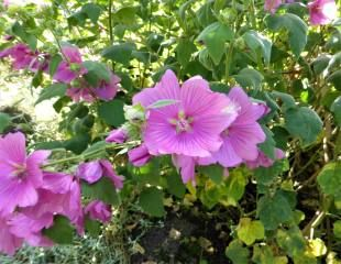 Lavater Kew Rose