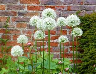 Allium stipitatum 'white giant""
