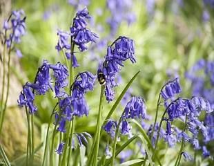 Bluebell in natural setting
