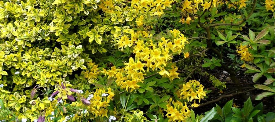 Spring combination yellow rhododendron, Euonymus and Aquilegia