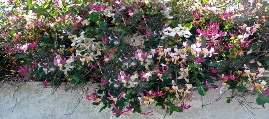 Honeysuckle trailing over a wall in Guernsey