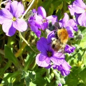 banner Bee on aubretia 300