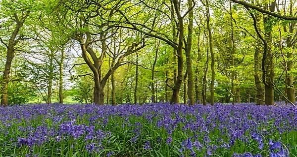 Bluebells in woodland setting