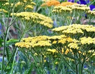 Achillea in subtle shades 310