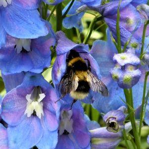 delphinum and bee 300