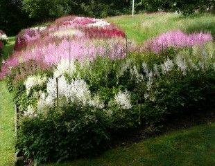 Astilbes on mass at the national collection Holehird Gardens