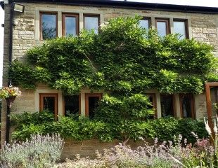 Leafy wisteria before summer pruning