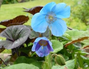 Meconopsi the Himalayan Blue Poppy